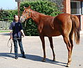 Manduro-Sister Act yearling filly (6113184533).jpg