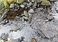 Manganese Bacteria deposits on rocks in a stream.JPG