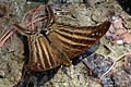 Many-banded daggerwing (Marpesia chiron).JPG