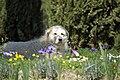 Maremma Sheepdog 2.jpg