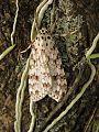 Mariposa (espécie desconhecida).jpg