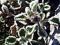 Marrubium supinum Plant SierraNevada.jpg