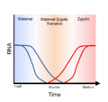 Maternal-zygotic-transition.png