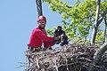 Matt Stuber with eaglet 2012 By Kim LeBlanc (9185368798).jpg