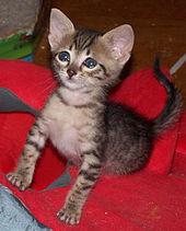 Cat Breeds Susceptible To Cat Nip