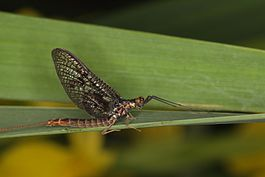 Mayfly - Ephemera indet. (8073729547).jpg