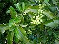 Maytenus canariensis 2c.JPG