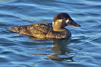 Surf scoter - Adult female