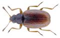 Melanophthalma suturalis (Mannerheim, 1844).png