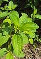 Melastoma malabathricum 124.JPG