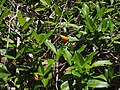 Melodinus australis.jpg