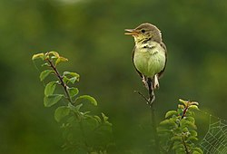 Melodious warbler (Hippolais polyglotta), Le Petit Loc'h, Guidel, Brittany, France (19991402152).jpg