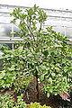 Melogold Grapefruit (Citrus) 'Melogold' (3107647326).jpg