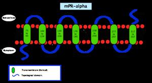 Membrane progesterone receptor - Image: Membrane progesterone receptor alpha
