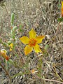Mentzelia pectinata - Flickr - theforestprimeval.jpg
