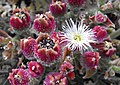 Mesembryanthemumcryst2.jpg