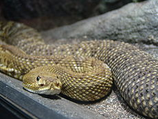 Mexican West Coast Rattlesnake 02.jpg