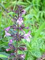 Micromeria fruticosa Inflorescen 2012-11-25 SierraMadrona.jpg