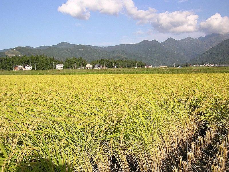 File:Minamiuonuma Paddy.jpg