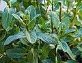 Mint leaves (Mentha spicata).jpg