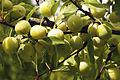 Mirabelles à Hattonchatel (lorraine) Cl J Weber02 (23379644420).jpg