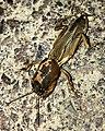 Mole cricket on the ground - 2.jpg