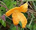 Momordica charantia . Bitter Melon - Flickr - gailhampshire (2).jpg