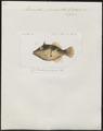 Monacanthus prionurus - 1700-1880 - Print - Iconographia Zoologica - Special Collections University of Amsterdam - UBA01 IZ15400135.tif