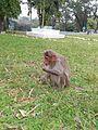 Monkeys at bandipur.jpg