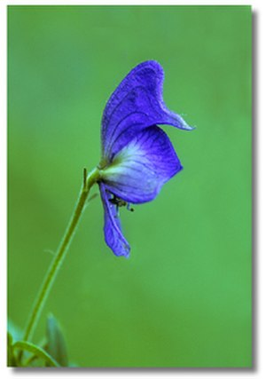 Driftless Area - Northern monkshood