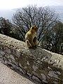 Mono de Berbería, Gibraltar, marzo de 2014.jpg