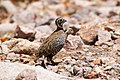 Montezuma Quail (male & female) South Fork Cave Creek AZ 2015-07-03at12-28-337 (47018403784).jpg