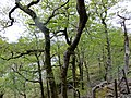 Moorland oakwoods - Dduallt - June 2013 - panoramio.jpg