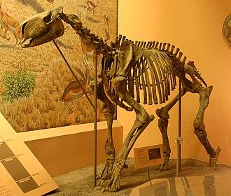 Moropus - Moropus elatus skeleton at the National Museum of Natural History, Washington, DC