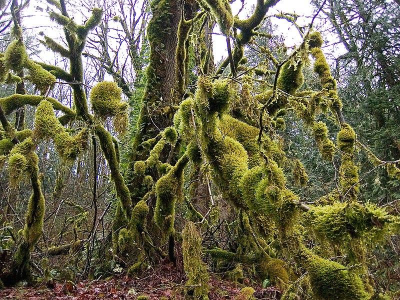 List of Plants 800px-Mossopolis