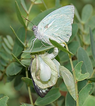 Pupa - Mating in pierid Catopsilia pyranthe of male with newly emerged female.