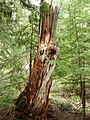 Mount-Rainier-Park-Tree-Stump-7049.jpg