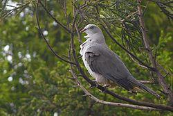 Mountain Imperial Pigeon Mahananda Wildlife Sanctuary West Bengal India 09.05.2016.jpg