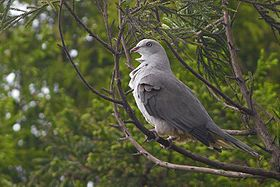 Mountain Imperial Pigeon Mahananda Wildlife Sanctuary West Bengal India 09.05.2016.jpg