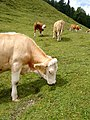 Mucche al pascolo, escursione WAF Kaisergebirge.jpg