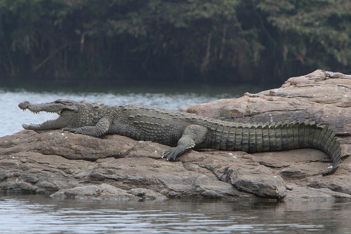 mugger crocodile wikipedia
