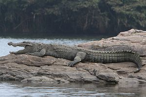 Mugger crocodile - A mugger crocodile in Ranganathittu Bird Sanctuary, Karnataka, India