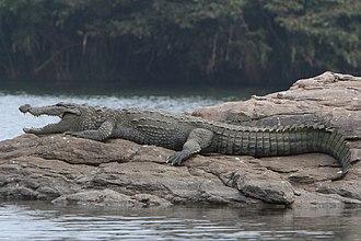 Mugger crocodile - A mugger crocodile in Ranganathittu Bird Sanctuary, Karnataka, India