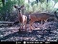 Mule deer (6659380181).jpg