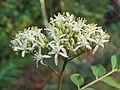 Murraya koenigii flowers at Peravoor (11).jpg