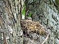Muscicapa striata. Серая мухоловка в гнезде.jpg