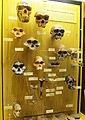 Museum Mensch und Natur - skulls.jpg