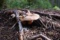 Mushrooms (121130683).jpeg
