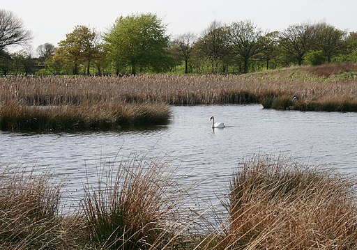 Mute Swan, Hogganfield Park Local Nature Reserve (geograph 4890840)