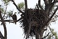 NASA Kennedy Wildlife - Bald Eagle (3) keeps a watchful eye.jpg